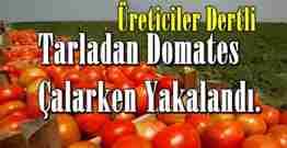 bahçeden domates çalarken yakalandı-GEYVE (2)