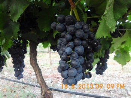 geyvede üzüm yetiştiriciliği 13