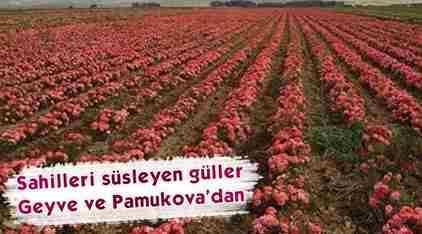 Geyve-Pamukova Gülleri İstanbul Caddelerini Süslüyor